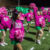 Buckaroos take on Bowie and pink out
