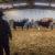 SCJLS-Cattle Division