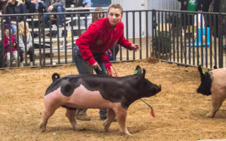 SCJLS-Swine Division