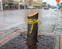 City removes trees in sidewalks along Walker Street