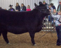 Kadynce Kennedy wins both Grand Champion cattle awards
