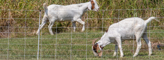 Get ready…get set…goat! Herd for hire helps clear brush on banks of Walker Branch